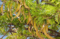 Rich Textured Tree Seed Pods Royalty Free Stock Photo