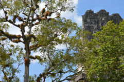 Rich vegetation and the top of the ancient Maya temple in Tikal Stock Photos