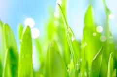 Rich wet grass. Fresh wet grass in sun rays, closeup Stock Photography
