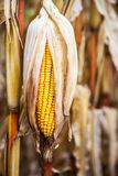 Pretty Yellow Corn royalty free stock photography