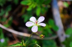 Richardson bodziszka kwiat fotografia stock