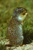 Richardson's Ground Squirrel. A richardson's ground squirrel sitting up eating Stock Image