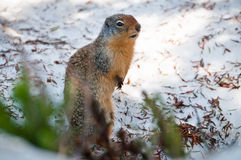 Richardson's ground squirrel Royalty Free Stock Photos