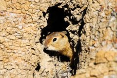 A Richardsons Ground Squirrel looks out of its hole.  stock images