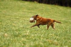Richiamo del Labrador rosso Fotografia Stock Libera da Diritti