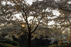 Richly blossoming cherry tree garden with the sun shining throug Royalty Free Stock Photos