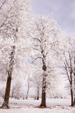 Richly frosted old lindens. Stock Images