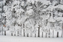 Richly frosted trees Royalty Free Stock Photos