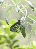 Richmond Birdwing Butterfly masculino australiano raro Imagem de Stock