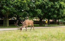 Richmond London, UK - Juli 2017: Röda hjortar som matar på ett gräs mig Arkivfoto