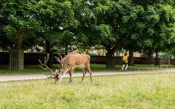 Richmond, London, UK - July 2017: Red Deer feeding on a grass me Stock Photo