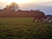 Richmond Park Deer-Anvisieren im Sonnenuntergang bei Richmond Park, London stockfoto
