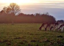Richmond Park Deer-het waarnemen stock afbeeldingen