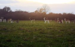 Richmond Park Deer sighting royalty free stock photography