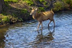 Richmond Park Deer Stock Photo