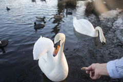 Richmond park. Feeding the swans within the parks grounds Royalty Free Stock Images