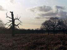 Richmond Park , London , United Kingdom. Richmond park london united kingdom tree greenery royal parks kingston brexit landscape branch twisting spring autumn royalty free stock photos