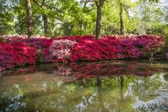 Richmond park rhodonendrons a w pełnym kwiacie Fotografia Stock