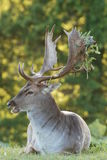 Richmond Park Stag Royalty Free Stock Photo