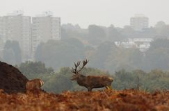 Richmond Park Stag com blocos de torre no fundo Fotos de Stock Royalty Free