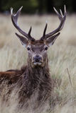 Richmond Park Stag Royalty Free Stock Image