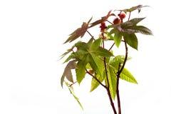 Ricino, Ricinus communis, planta médica Fotografía de archivo libre de regalías