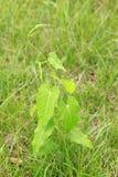 Ricinus communis attorcigliante perenne delle erbe Immagini Stock