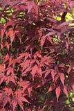 Ricinus communis, the castorbean or castor-oil-plant Stock Image