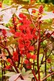 Ricinus communis. The fruits of the plant ricinus communis stock photography