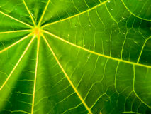 Ricinus communis leaf detail on surface Stock Photos