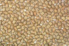 Ricinus communis seeds. Castor oil plant, Ricinus communis, seed layer Royalty Free Stock Photo