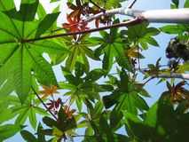 Ricinus leafes. Geautiful green and red ricinus leaves watched from below toward blue sky stock images