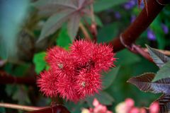Ricinus tree. With fruits royalty free stock image