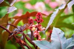 Ricinus tree. With fruits stock photography