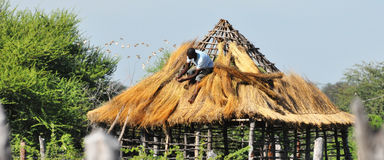 Ricoprir di pagliae un tetto nel Botswana rurale, l'Africa Immagini Stock