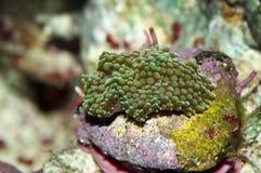 Ricordea coral Stock Photography