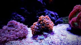 Ricordea mushroom coral in saltwater reef aquarium tank. Ricordea, or Flower Mushroom Coral. It shares some similarities to stony corals, and is also termed a royalty free stock image