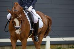 Rida på en häst Fullblods- häst Härlig häst Arkivfoton