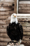 Riddare White Eagle Royaltyfri Foto
