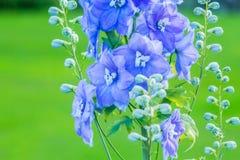 Riddarsporre 'efter midnatt' som är nära upp av överflödande blåa blommor royaltyfria foton