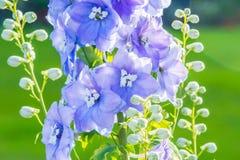 Riddarsporre 'efter midnatt' som är nära upp av överflödande blåa blommor på en enkel stam arkivbild