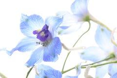 Riddarsporre i en vit bakgrund Royaltyfria Bilder