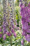 riddarsporreblommor arbeta i trädgården pink Arkivfoto