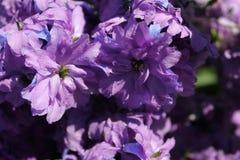 Riddarsporren blommar närbild Arkivbild