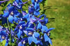 ridderspoor blauwe bloem royalty-vrije stock fotografie