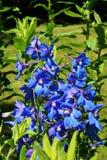 ridderspoor blauwe bloem stock afbeeldingen