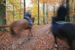 Ride. Danish horses in a forest Stock Photos