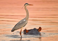 The ride. Grey heron takes a ride on a friendly hippo Stock Images