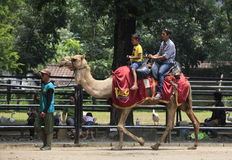 Ride camel. Travelers ride a camel in the zoo city of Solo, Central Java, Indonesia stock photo