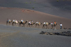 Ride with camels on Lanzarote. On Lanzarote it is possible to make a ride with camels between the fantastic volcanos and craters of the volcanos of Timanfaya, a Royalty Free Stock Image